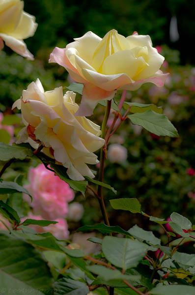 Lee-Ann-Torrans-Texas-Roses-Late-March-Texas-7