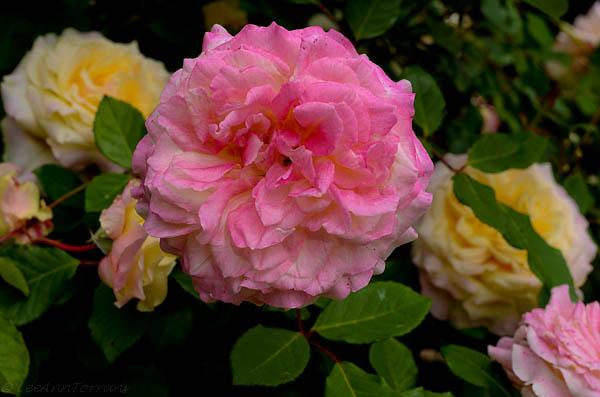 Lee-Ann-Torrans-Texas-Roses-Late-March-Texas-9