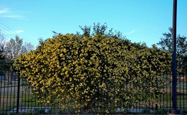 LeeAnnTorrans-Lady Banksia-1