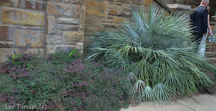 Flirt Purple Nandina Lee Ann Torrans Dallas Gardening and Landscape