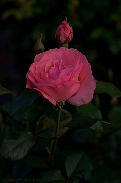Lee Ann Torrans - Rose - Queen Elizabeth