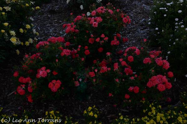 Starina Miniature Texas Rose