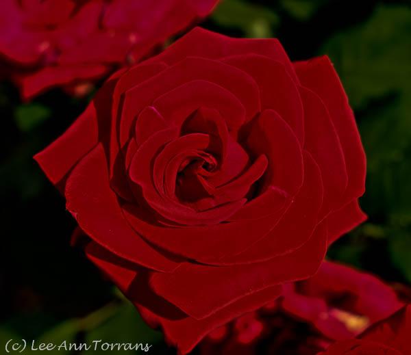 Lee Ann Torrans - Veterans Honor - Texas Rose