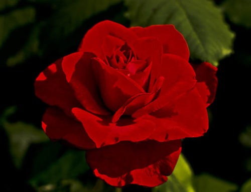 Top Ten Roses for the Texas Garden
