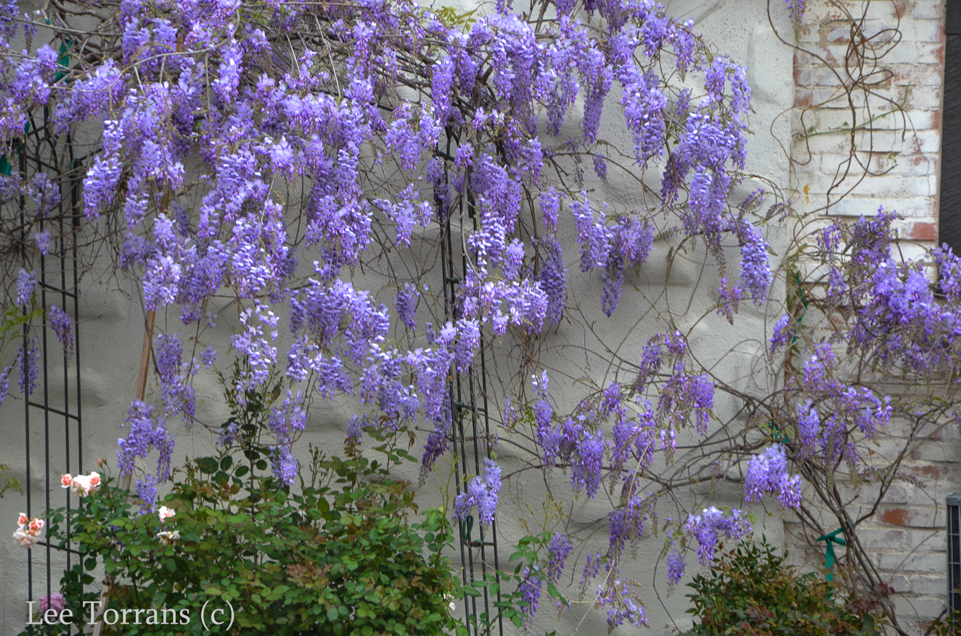 Wisteria late march in texas lee ann torrans gardening for The wisteria