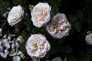 Bourbon Rose Texas - Lee Ann Torrans