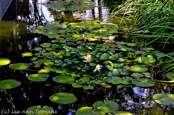 Day Lillies at the Nasher
