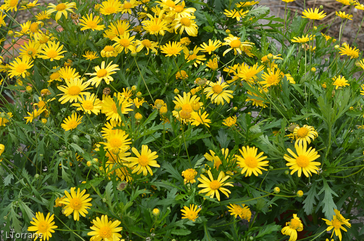 April and may texas perennials lee ann torrans gardening Where did daisies originate