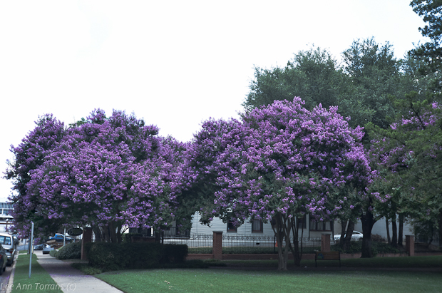 Lavender_Crape_Myrtle_Lee_Ann_Torrans