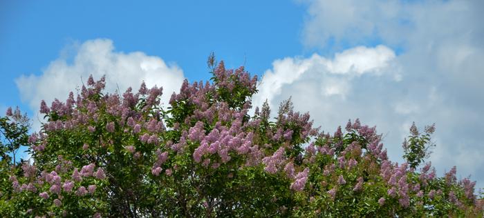 Muskogee_Crape_Myrtle_Tree_Plano_Landscaping_Lee_Ann_Torrans-5