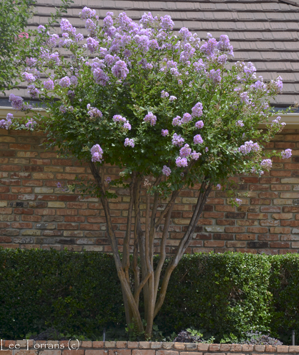 Muskogee Large Lavender Crape Myrtle