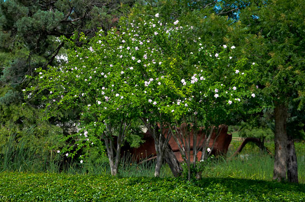 Althea Tree