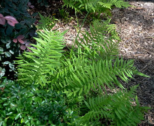 wood_fern