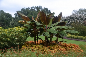 Banana Tree at Dallas Arboretum