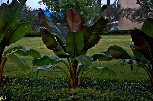 Fall Banana Tree Lee Ann Torrans Dallas Texas