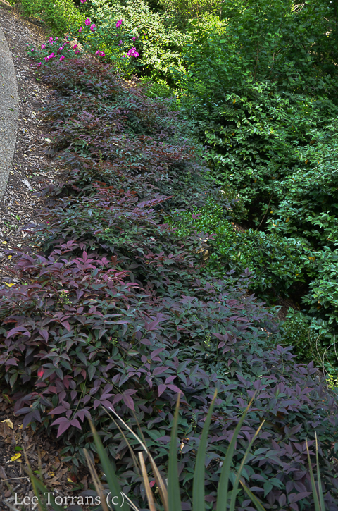 Dwarf Purple Nandina - Texas Shrub