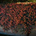 Cross Vine - Texas Flowering Vine