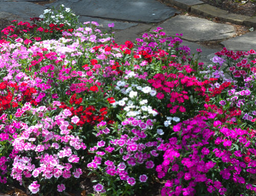 "Texas Perennial – Dianthus or ""Pinks"""