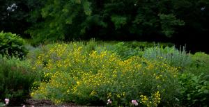 Englishman's Daisy - Dallas Landscaping and Gardening Lee Ann Torrans