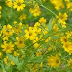 Englishman's Daisy hardy Texas perennial