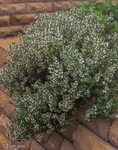 Flowering Oregano Mid-April Texas