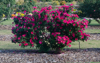 Home Run Shrub Rose Texas in Red and Pink