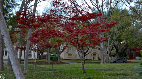 Red Emperor Japanese Maple