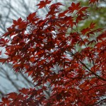 Japanese_Maple-6