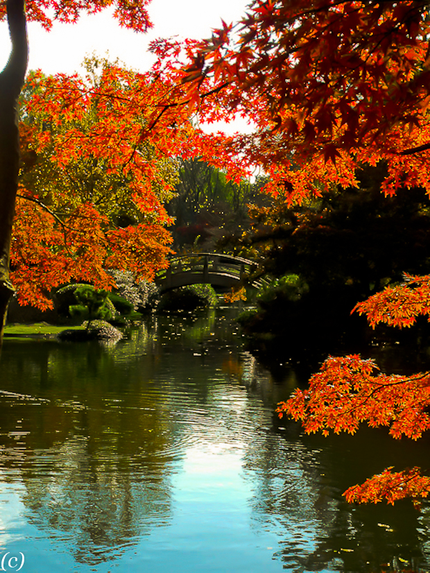 Japanese_Maples_2011-4