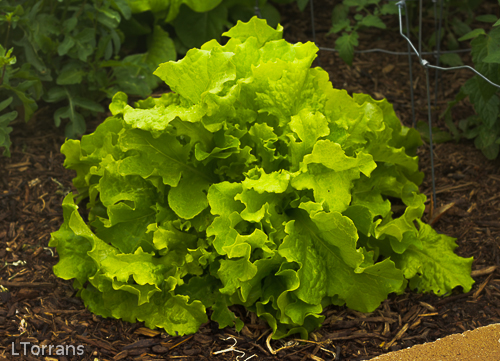 Texas Lettuces Mid-April