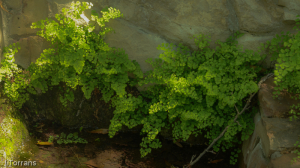 Maidenhead Fern Texas