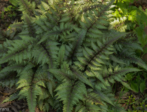 Ferns in Texas