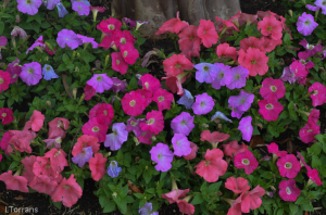 Petunias-Spring-Dallas