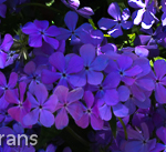 Purple_Phlox_Texas_Lee_Ann_Torrans-2