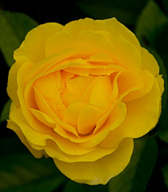 Julia Child Shrub Rose for Texas