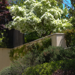 Fragrant Ash Texas Flowering Tree with Swett Smell