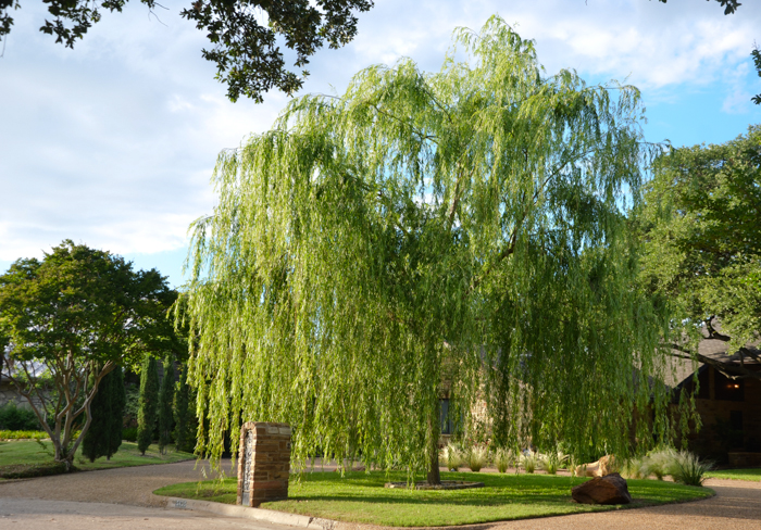 Weeping Willow Spring Showing