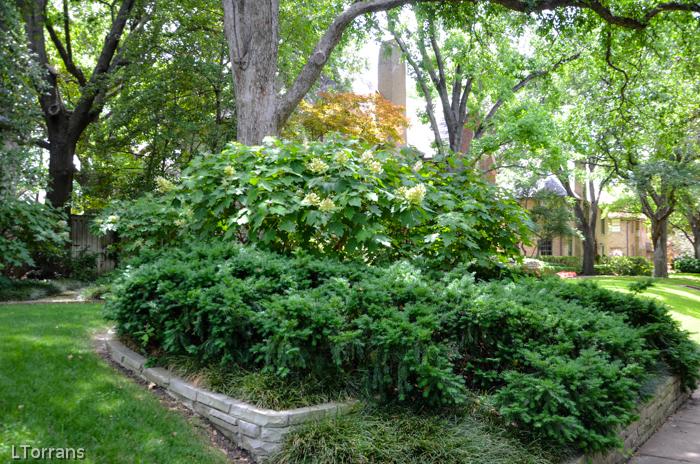 Yew Spreading and Oak Leaf Hydrangea