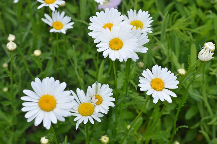 Ox Eye Daisy Texas Perennial - April to May Bloomer