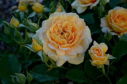 Honey_Perfume_Rose_Floribunda-2