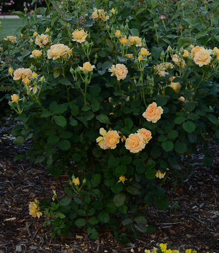 Honey perfume rose honey perfume floribunda rose lee ann torrans