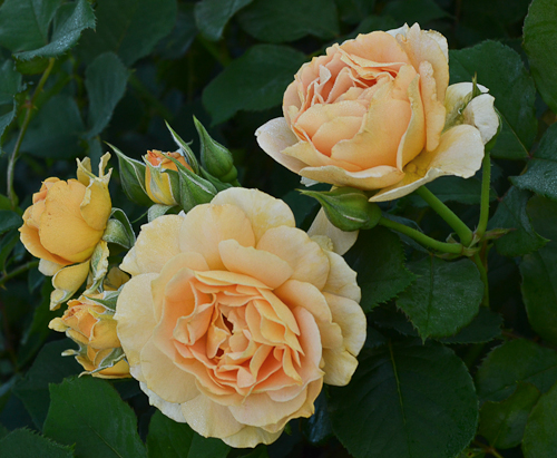Honey_Perfume_Rose_Floribunda