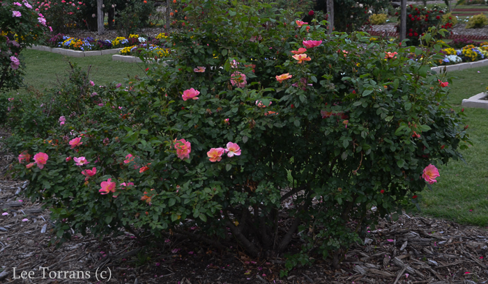 All the Rage Multicolored Shrub Rose for Texas