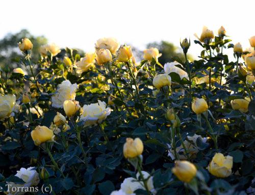 Texas Rose: Centennial – Grandiflora