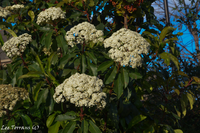 Spring flowers of the Chinese Photinia. This is really a tree and should be planted as though it was a tree and not a shrub.