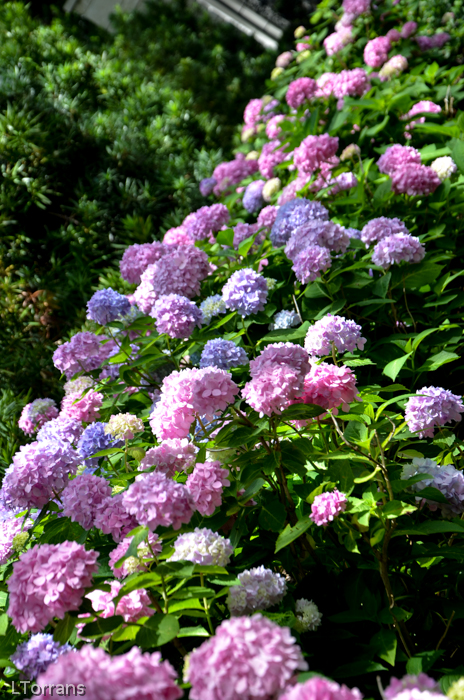 Mophead hydrangeas - pink and blue.