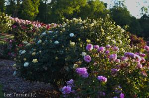 Centennial Grandiflora Yellow Rose for Texas