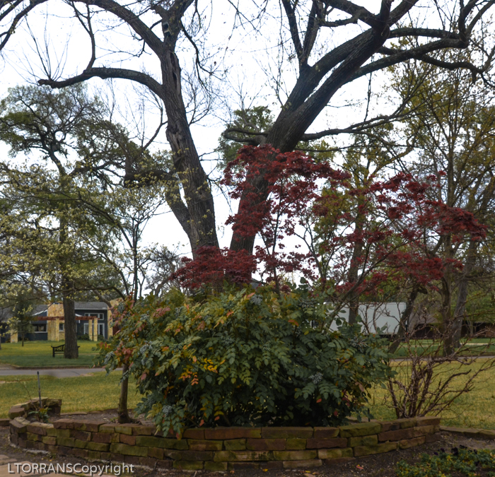 Mahonia with Japanese Maple