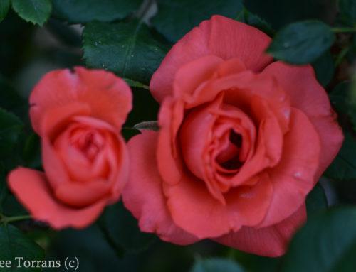 Marmelade Skies Floribunda Rose