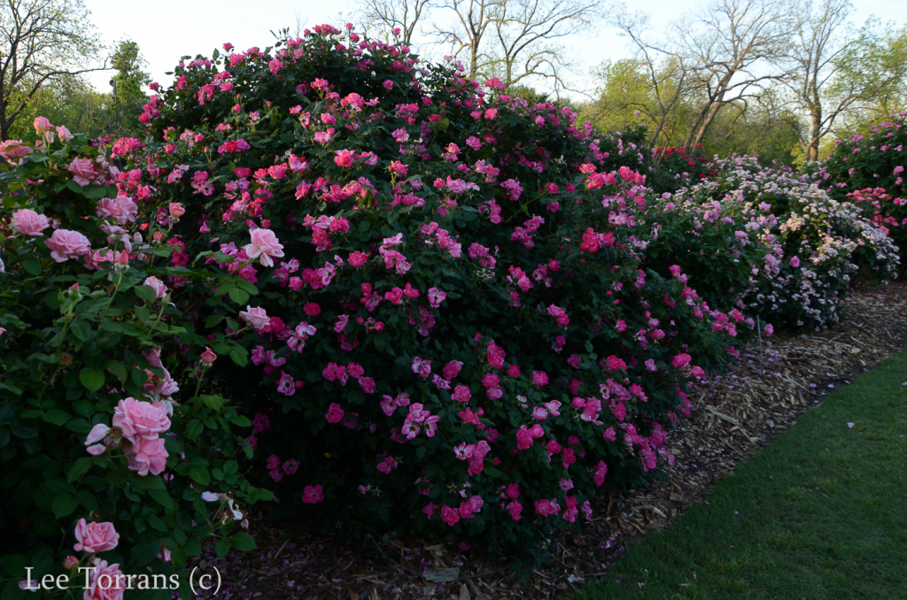 Knockout Rose - Red - Pink - Blushing Texas Shrub Rose
